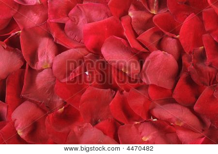 Petals Of Scarlet Roses As Background