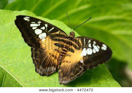 Tropical Butterfly Parthenos Sylvia
