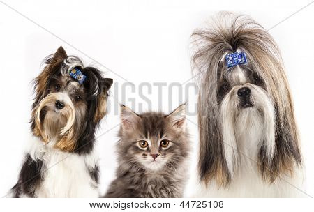 beaver yorkshire terrier, dog of breed shih-tzu and  kitten