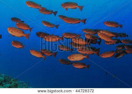 School of Fish: Common Bigeyes underwater