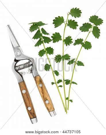Salad burnet herb leaf sprigs with secateurs over white background. Sanguisorba minor.