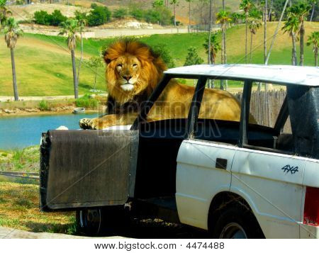 Lion On Jeep