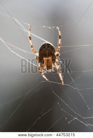 European cross spider. Araneus diadematus.