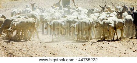 sheep herd, Badajoz Province, Extremadura, Spain