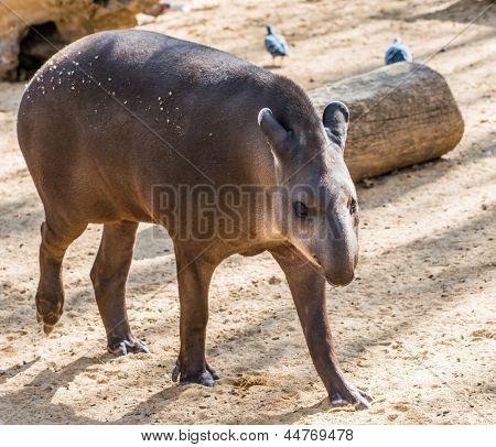 Tapir walking in a zoo