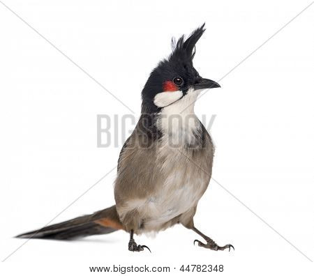 Red-whiskered Bulbul - Pycnonotus jocosus - isolated on white