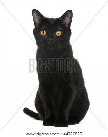 Bombay kitten sitting and looking away, isolated on white
