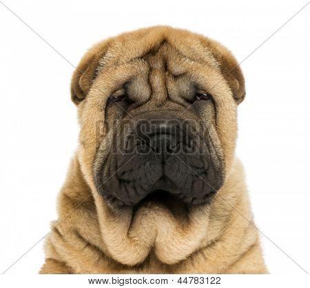 Close-up on facing  Sharpei puppy head (11 weaks old)