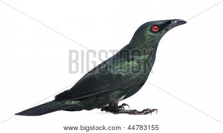 Metallic Starling - Aplonis metallica - Isolated on white
