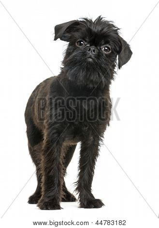 Griffon Bruxellois looking at the camera, isolated on white