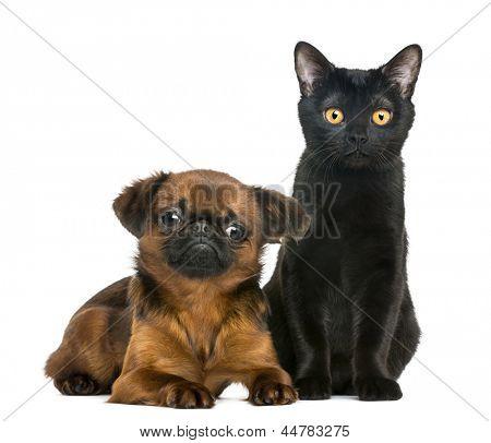 Gato Bombaim, sentado ao lado de Petit Brabancon, isolado no branco