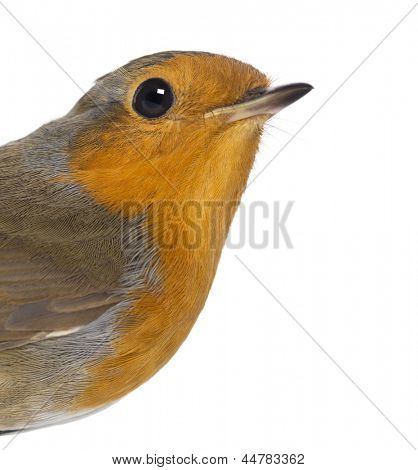 Close-up on a European Robin - Erithacus rubecula - isolated on white