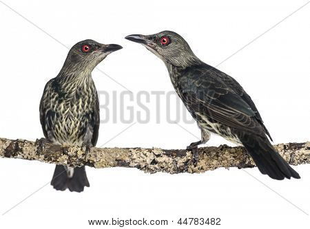 Two Juveniles Metallic Starling - Aplonis metallica - Isolated on white
