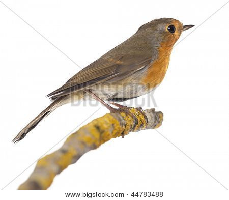European Robin perched on a branch - Erithacus rubecula - isolated on white