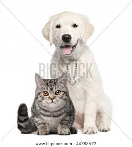 Sessão de cachorro (14 semanas de idade) de Retriever dourado ao lado de um Shorthair britânico - isolado no branco
