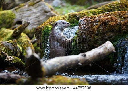 Eurasische Fischotter (Lutra Lutra)