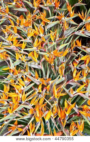 Bird of paradise flowers (Strelitzia)  beautiful bouquet