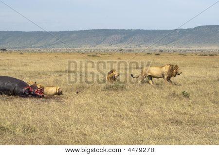 Lions Pride Sharing Hippopotamus Kill
