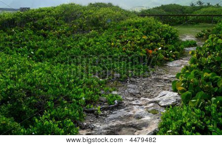 Coral Path Through Sea Grape