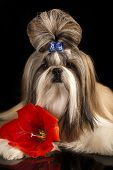 Dog of breed shih-tzu and red flower