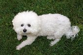 A beautiful pure breed Bichon Frise enjoys an warm spring afternoon in the sun while laying in fresh