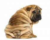 picture of shar-pei puppy  - Back view of a Shar pei puppy sitting and looking at the camera  - JPG