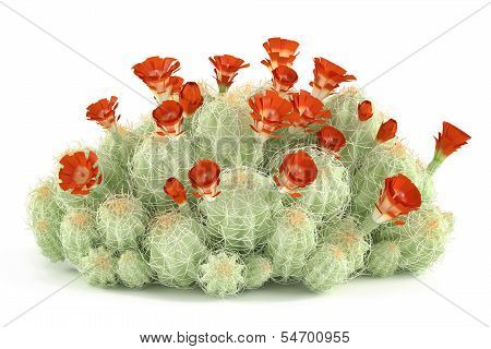 Plant bush. Echinocereus triglochidiatus