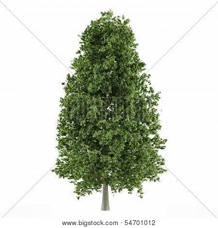 Tree isolated. Aesculus hippocastanum