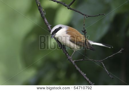 Red-backed Shrike (Lanius collurio) on branch, male
