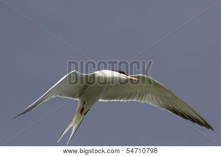 Common Tern in flight / Sterna hirundo