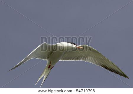 Common Tern in flight / Sterna hirundo