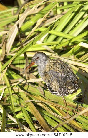 Water rail in natural habitat / Rallus aquaticus