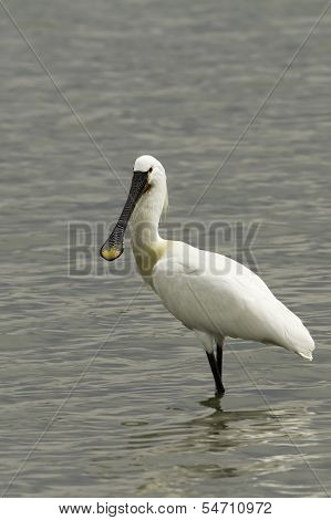 Common Spoonbill looking for food - Platalea leucorodia