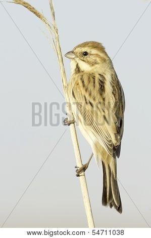 Reed Bunting, in winter plumage (Emberiza schoeniclus)