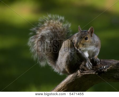 Lofty Squirrel