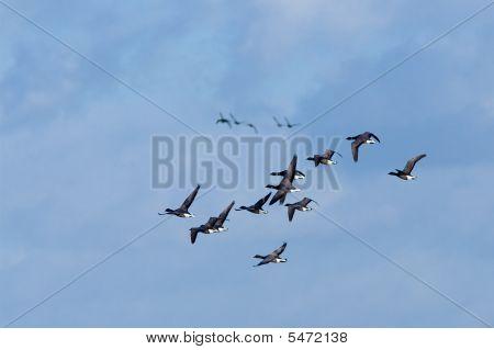 Brent Geese Flock