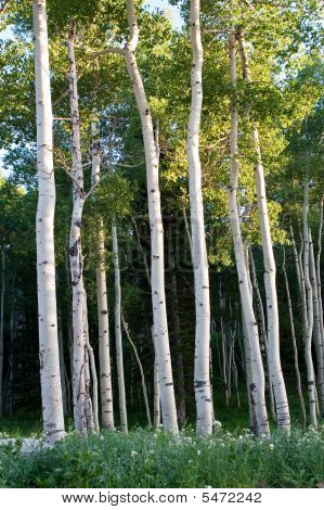 Tall Quaking Aspen Trees In High Mountains