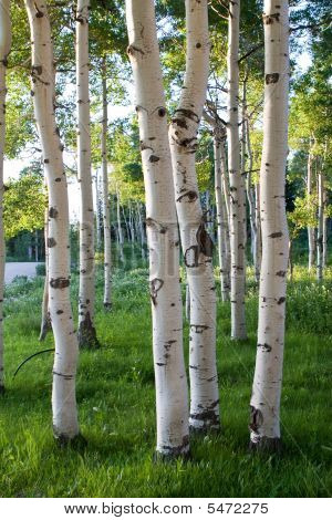 Quaking Aspen Trees In High Mountains