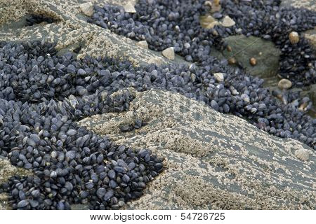 Rock And Clams