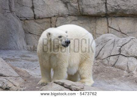 Adult Polar Bear