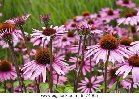 Field Of Coneflowers