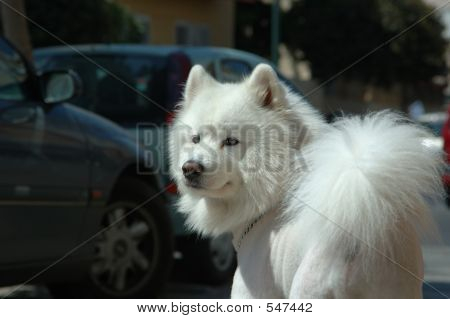 Samoyed Dog Portrait
