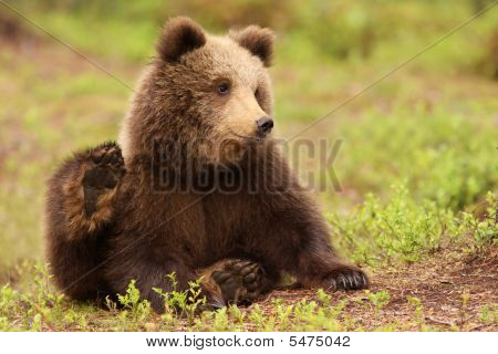 Cute Little Brown Bear Cub Sitting On The Ground