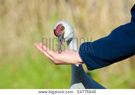 Hand Feeding a Sandhill Crane