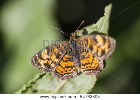 Pearl Cresent - Phyciodes tharos - Brush-footed Butterfly
