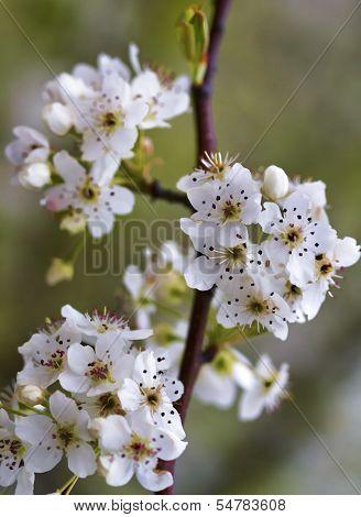 Bradford Pear Tree Blossom Clusters - Calleryana