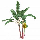 stock photo of banana tree  - Palm plant tree isolated - JPG