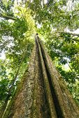 foto of epiphyte  - Looking up the trunk of a giant rainforest tree to the canopy Ecuador - JPG