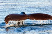 stock photo of mating animal  - Diving Humpback Whale In Monterey Bay California - JPG