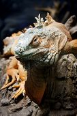 picture of godzilla  - Closeup of a iguana on a branch - JPG